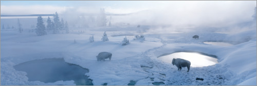 Poster Bisons et geysers au parc national de Yellowstone, USA