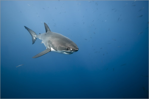 Poster Grand requin blanc I