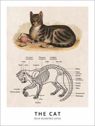 Poster  Le chat, schéma vintage (anglais) - Wunderkammer Collection
