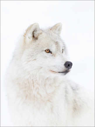Poster  Loup arctique - Jim Cumming