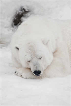 Poster  Relaxed polar bear settled down to sleep - Mikhail Semenov