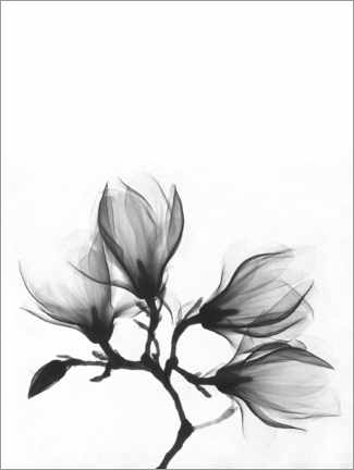 Tableau sur toile  X-ray image of a magnolia - Wunderkammer Collection