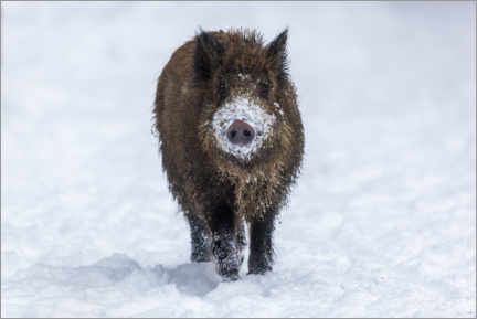 Tableau sur toile  Young wild boar in winter - Dieter Meyrl
