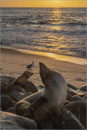 Poster  Sea lions with the setting sun - Sheila Haddad