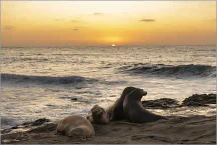Poster  Sea lions on the Pacific with the setting sun - Sheila Haddad