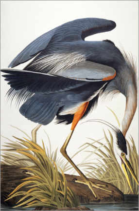Poster  Grand Héron - John James Audubon