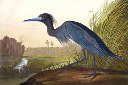 Poster  Aigrette bleue - John James Audubon