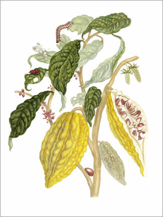 Poster  Cacaotier - Maria Sibylla Merian