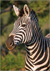 Tableau en plexi-alu  Zebra in Africa, wildlife - wiw