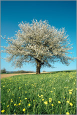 Sticker mural  Blossoming cherry tree in spring on green field with blue sky - Peter Wey