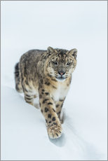 Tableau en plexi-alu  Snow Leopard in deep snow - Ingo Gerlach