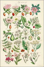 Sticker mural  Fleurs sauvages Fig. 421-440 - Sowerby Collection