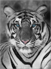 Sticker mural  Tigre aux yeux turquoises