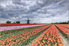 Tableau en plexi-alu  Dark clouds over fields of multicolored tulips and windmill, Berkmeer, Koggenland, North Holland, Ne - Roberto Sysa Moiola
