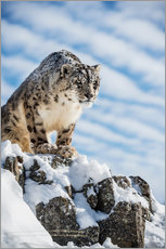 Sticker mural  Snow leopard (Panthera india) - Janette Hill