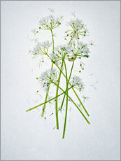 Sticker mural  Allium ursinum, medicinal herb - Axel Killian