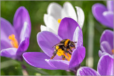 Sticker mural  Spring flower crocus and bumble-bee - Remco Gielen