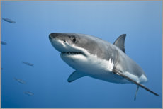 Tableau sur toile  Grand requin blanc II - nitrogenic