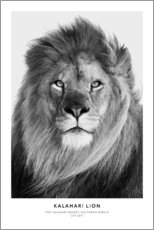 Sticker mural  Lion du Kalahari - Art Couture