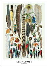 Poster  Les Plumes - Wunderkammer Collection