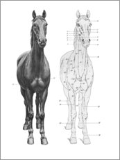 Poster  Anatomie du cheval - Wunderkammer Collection