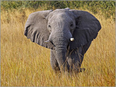 Sticker mural  Elephant in the gras - Africa wildlife - wiw