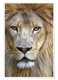Poster  Portrait d'un lion sage - Tananarive Aubert