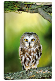 Tableau sur toile  Northern saw-whet owl - Dave Welling