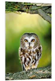 Tableau en PVC  Northern saw-whet owl - Dave Welling