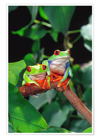 Poster  Rotaugenlaubfrosch couple - David Northcott
