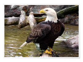 Poster  Aigle à tête blanche - HADYPHOTO