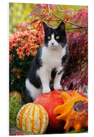 Tableau en PVC  Tuxedo cat on colourful pumkins in a garden - Katho Menden