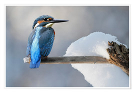 Poster Kingfisher