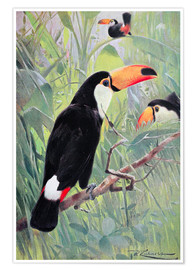 Poster  Toucan toco - Wilhelm Kuhnert