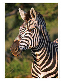 Poster  Zebra in Africa, wildlife - wiw