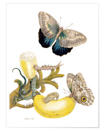 Poster  Banana fruit and Caligo - Maria Sibylla Merian