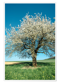 Poster Blossoming cherry tree in spring on green field with blue sky