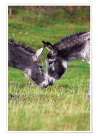 Poster  Donkeys touching noses - Duncan Shaw