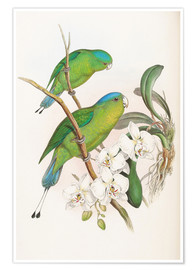 Poster  Philippine Racket tailed Parrot - John Gould