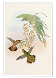 Poster  Campyloptère roux - John Gould