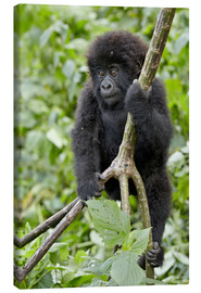 Tableau sur toile  Infant mountain gorilla (Gorilla gorilla beringei) from the Kwitonda group climbing a vine, Volcanoe - James Hager