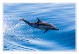 Poster  Long-beaked common dolphin leaping - Michael Nolan