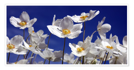 Poster Canada Windflower Anemone canadensis