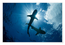 Poster  Requins pointes noires - Dave Fleetham