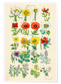 Poster  Fleurs sauvages Fig. 41-60 - Sowerby Collection