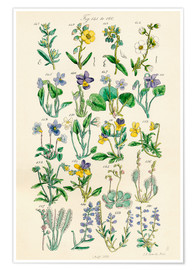 Poster  Fleurs sauvages Fig. 141-160 - Sowerby Collection