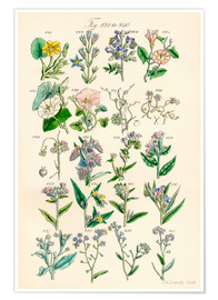 Poster  Fleurs sauvages Fig. 821-840 - Sowerby Collection