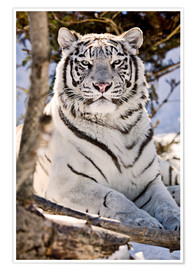 Poster  Tigre blanc - Chad Coombs
