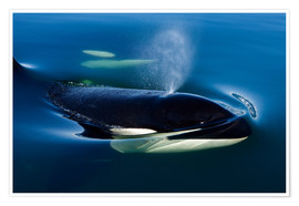 Poster Orca