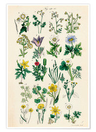 Poster  Fleurs sauvages Fig. 01-20 - Sowerby Collection